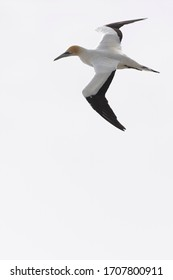 Australasian gannet in flight against white sky, ready to dive for fish, New Zealand