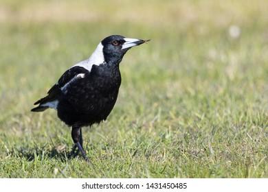 Australasian Magpie in New Zealand