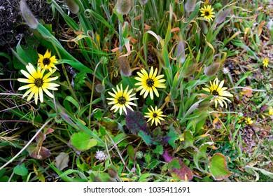 Australia, cape weed flower