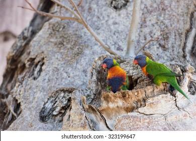 Australia colorful parrots on boab tree nest