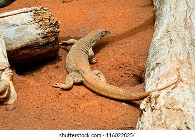 Australia, desert sand monitor aka sand goanna or bungarra