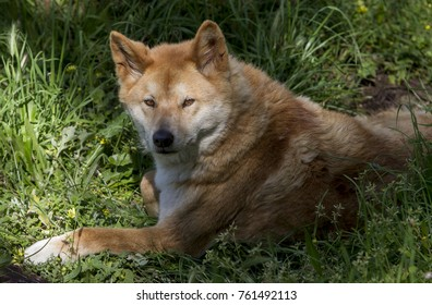 The Australia dingo is a type of feral dog native to Australia.