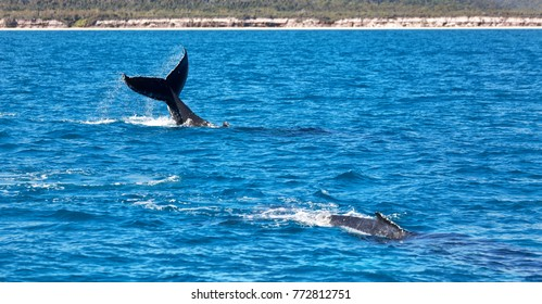 Whale breaching images stock photos vectors shutterstock in australia a free whale in the ocean like concept of freedom voltagebd Gallery