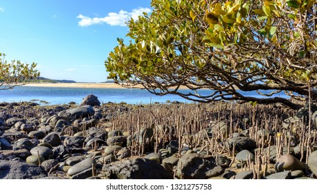 Australia Grey Mangrove (Avicennia marina) trees on to rocky beach these are pioneer plants that colonise and give tsunami hurricane protection