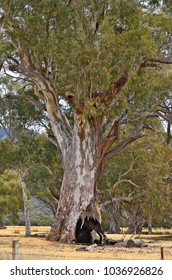 Australia, hollow eucalyptus tree