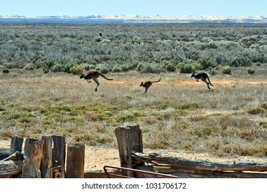 Australia, kangaroos in old woolshed in Mungo National Park in New South Wales