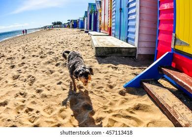 Australia Landscape : A dog playing sand at Mornington peninsular