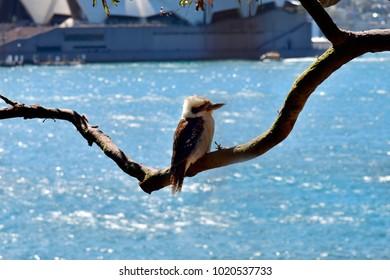 Australia, laughing kookaburra on tree branch