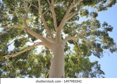 In Australia looking up into a ghost gum tree eucalyptus with its stunning white bark