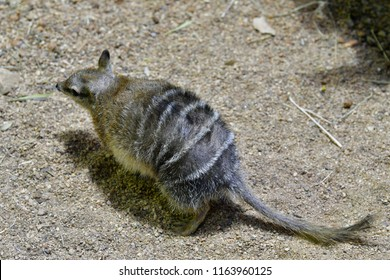 Australia, Numbat - a marsupial eat only ants