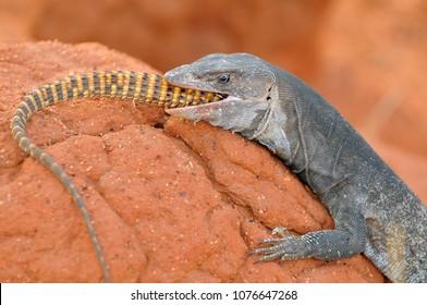 Australia, Outback, Northern Territory, Australian Monitor Lizard.