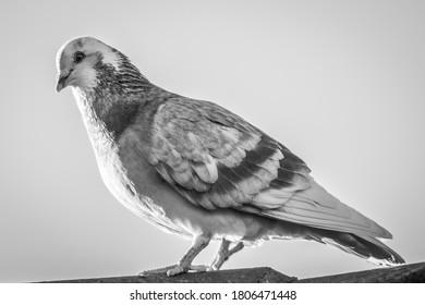 Australia Pigeon in the sun