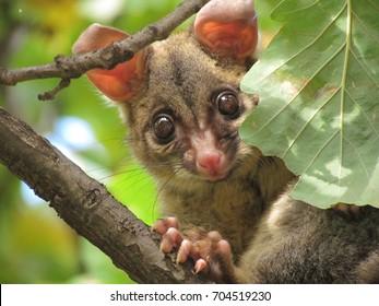 Australia Possum