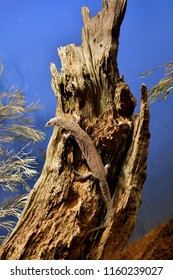 Australia, pygmy mulga monitor aka stripe-tailed goanna