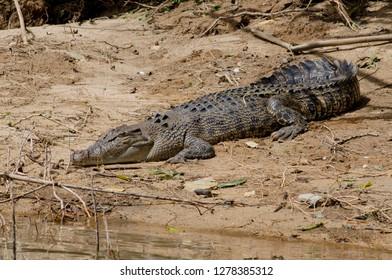 Australia, Queensland, Daintree. Daintree National Park, Daintree River. Female saltwater crocodile on muddy riverbank (Crocodylus porosus), aka saltie, estuarine or Indo-Pacific crocodile.