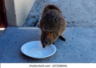 Australia, Quokka drinking water on Rottnest Island