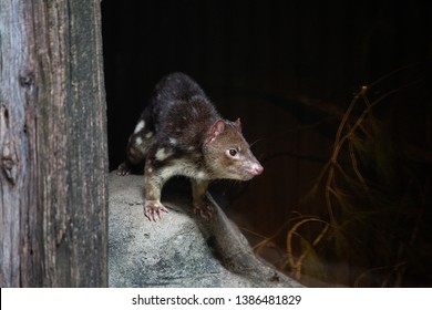 An Australia Quoll standing on a rock.