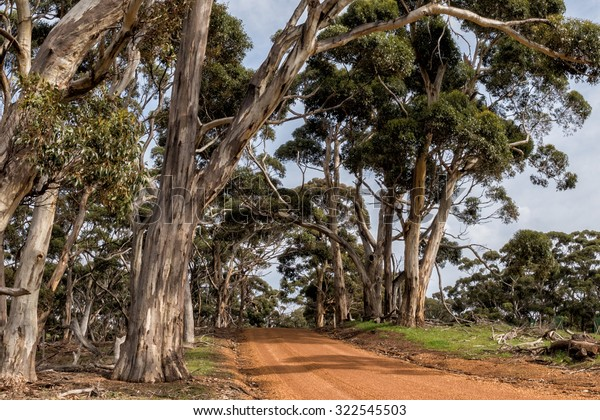 australia red road in green eucalyptus forest