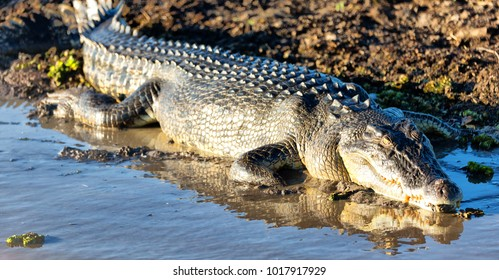 in  australia  reptile crocodile in the river pond and light