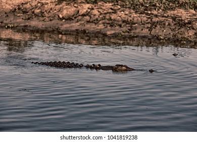 in  australia  reptile crocodile in the river pond and light