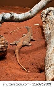 Australia, sand goanna aka sand monitor
