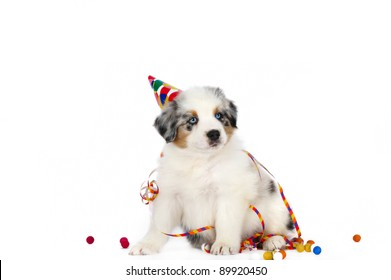 Australia shepherd puppy wearing party hat