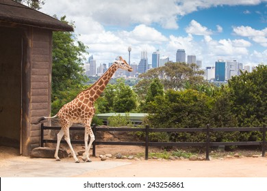 Australia Sydney city Taronga Zoo Giraffe place long neck spotted animals feeding green tree branch with cityscape of CBD landmarks in the background