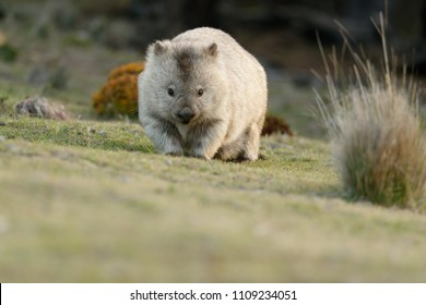 Australia, Tasmania, The common wombat (Vombatus ursinus), also known as the coarse-haired or bare-nosed