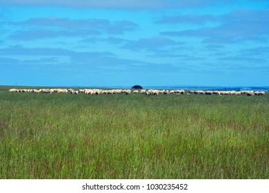 Australia, VIC, flock of sheep on pasture
