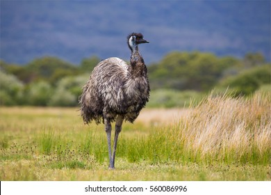 Australia Wild Emu Found In National Park