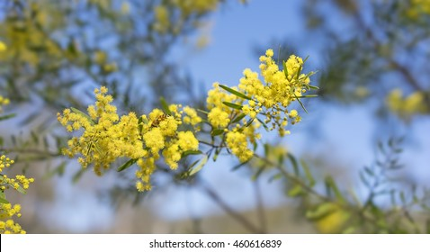Australia Winter and spring bright yellow wildflowers Acacia fimbriata commonly known as the Fringed Wattle or Brisbane Golden Wattle