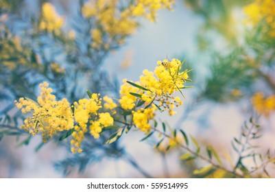 Australia Winter and spring golden yellow wildflowers Acacia