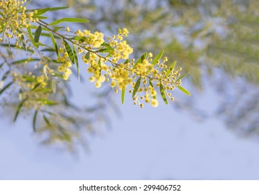 Australia Winter and spring yellow wildflowers Acacia fimbriata commonly known as the Fringed Wattle or Brisbane Golden Wattle