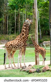 AUSTRALIA ZOO, QUEENSLAND,AUSTRALIA-11th DEC 2016:-Giraffes have ample space to roam in the Africa exhibit at the zoo