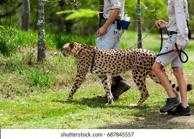AUSTRALIA ZOO, QUEENSLAND,AUSTRALIA-11th DEC 2016:-Staff at Australia zoo take the cheetah for a walk in the park