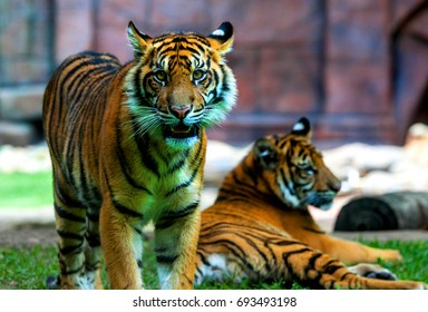 AUSTRALIA ZOO, QUEENSLAND,AUSTRALIA-11th DEC 2016:-the tiger cubs have been hand reared in the zoo and are growing and maturing quickly