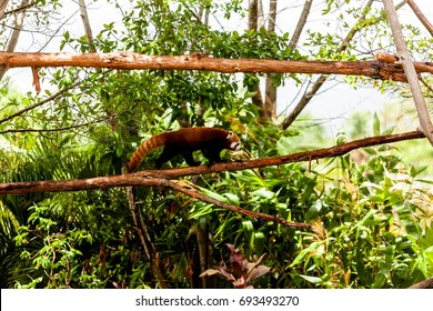 AUSTRALIA ZOO, QUEENSLAND,AUSTRALIA-11th DEC 2016:-The red panda, or redfox is a relative to the Panda bear