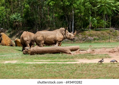 AUSTRALIA ZOO, QUEENSLAND,AUSTRALIA-11th DEC 2016:-White rhinosceros graze and roam the Africa savanaha exhibit
