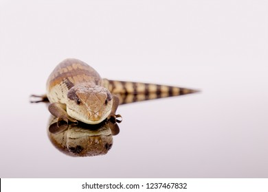 Australian Adolescent Eastern Blue Tongue Lizard reflection selective focus closeup glaring at the viewer in defence before hissing isolated on reflective black perspex base in landscape copy space