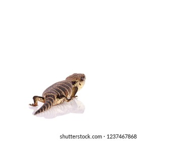 Australian Adolescent Eastern Blue Tongue Lizard selective focus and closeup with reflection walking away isolated on reflective white perspex base, copy space in landscape format