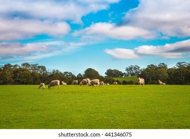 Australian agricultural farm rural landscape sheep herd greem meadow grass