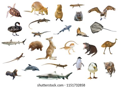 Australian animals isolated on white background:Wallaby,Tasmanian Devil,Wombat,Kangaroo, Quokka,Koala, Pelican,Seagull,Penguin,Swan,shark, Sting Ray,Turtle, Dolphin,Seal,Komodo dragon and Pogona.