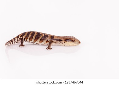 Australian Baby Eastern Blue Tongue Lizard closeup walking on reflective white perspex base isolated against white background in landscape format with copy space