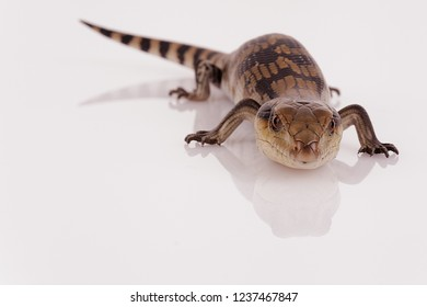 Australian Baby Eastern Blue Tongue Lizard glaring at viewer ready to hiss, selective focus and closeup isolated on white reflective perspex base in landscape format with copy space