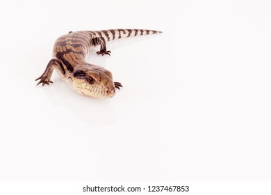 Australian Baby Eastern Blue Tongue Lizard closeup walking on reflective white perspex base isolated against white background, copy space in horizontal