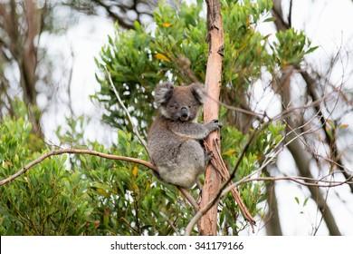 Australian Baby Koala Bear