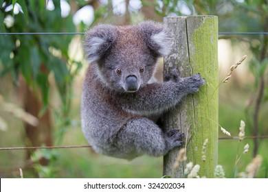 Australian Baby Koala Bear. Beautiful koala, baby koala, cute koala, funny koala in a tree, the Australian koala.