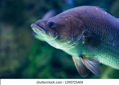 Australian Barramundi in water shot from below