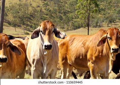 Australian Beef - Cattle Country with three red brown brahman cows