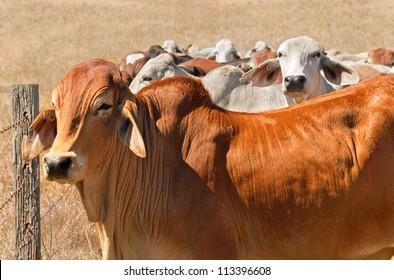Australian beef cattle herd brown brahman cows live animals on ranch
